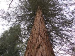 View of the Sequoia.