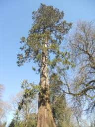 Several mature Sequoia trees are found along the banks of the Mere.