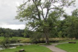 The path splits around the tree and narrows to about 1.2 metres.  Both paths slope crossways down away from the tree trunk.