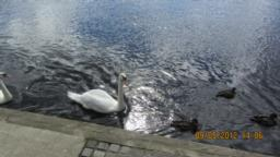 You can see different birds in the river - mostly swans and ducks.