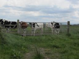 Some of the many cows on fields in the reserve.