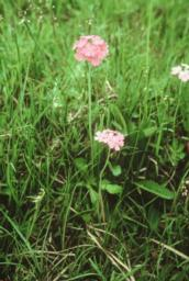 Birds Eye Primrose Photo credit Natural England