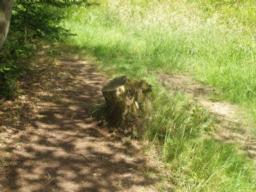 Through the woodland there may be tree roots or stumps on the surface.