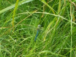 You may be lucky enough to see an Emperor Dragonfly.