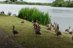 There are many birds to be seen at Hogganfield Loch including greylag geese, swans and moorhens.