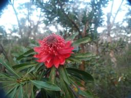 Waratah's may be seen in places along the trail.