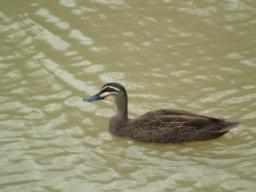 Pacific Black Duck are often seen in the area