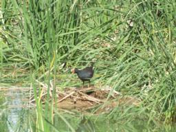 Dusty Moorhen are often seen in the area