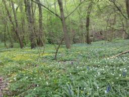 Carpets of bluebells, wood anemones, lesser celandine and early purple orchids in the spring.
