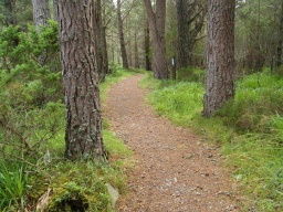 The path meanders through this mature pine woodland.