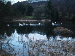 There are always lots of Mute Swans on the Loch.