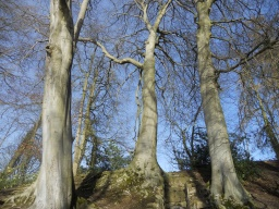 Magnificent Beeches stand overhead. They may make you feel rather small!