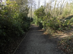 The path enters another area of woodland with large stands of Rhodedendron.