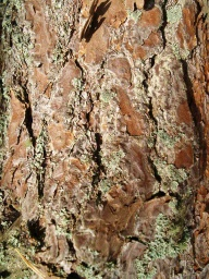 The bark of the native Scot's Pine have a distinctive colouring.